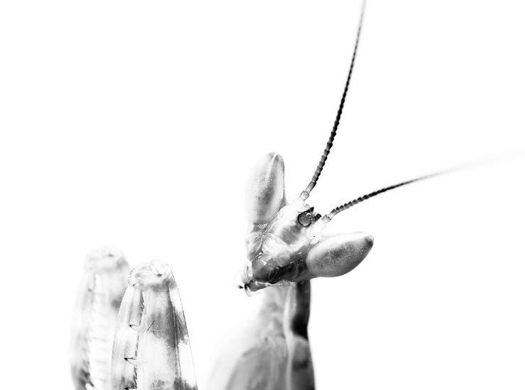 Praying mantis - Gottesanbeterin - 1.0 Creobroter sp chiang mai
