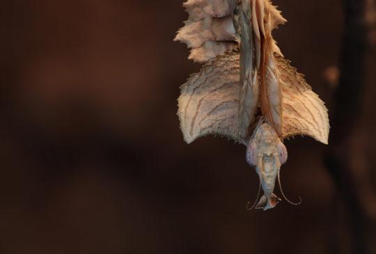 Praying mantis - Gottesanbeterin - Idolomantis diabolica