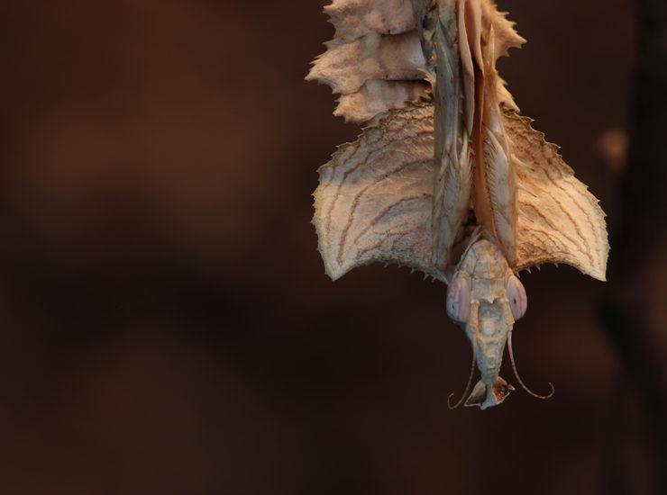Praying mantis - Devil Flower Mantis - Gottesanbeterin - Idolomantis diabolica