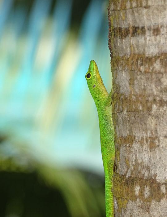 Seychelles - Phelsuma sundbergi - Taggecko