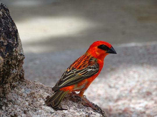 Seychelles - Red fody - Foudia madagascariensis