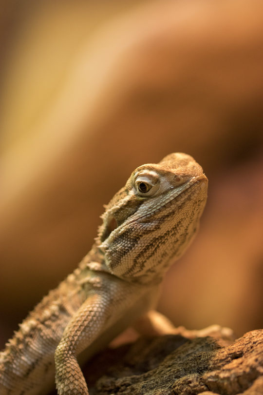 dwarf bearded dragon - Zwergbartagame