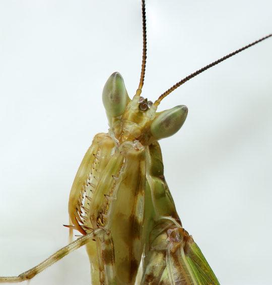 Praying mantis - Gottesanbeterin - Creobroter sp chiang mai