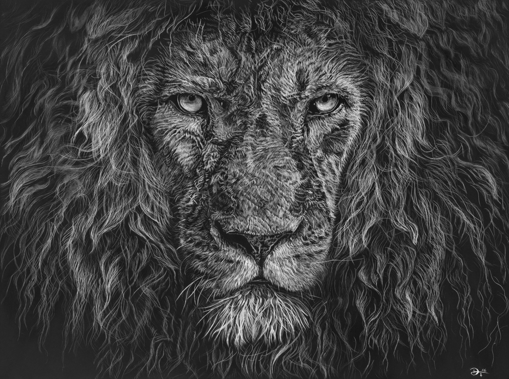 Scratchboard lion king - Löwe - reference photo with kind permission from Hadsam