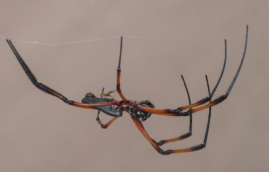 Nephila sp - 1.1 spiders at Seychelles
