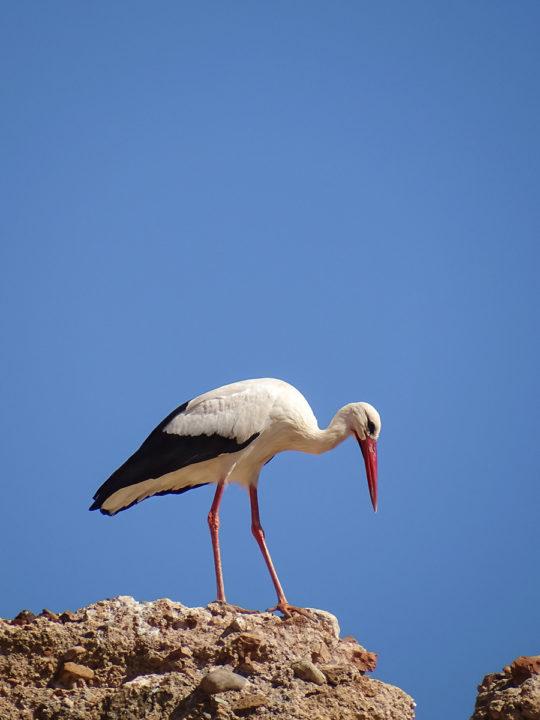 stork in Marrakech - Storch in Marrakesch