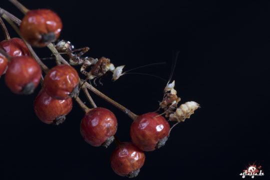 Praying mantis - Gottesanbeterin - Callibia diana nymphs