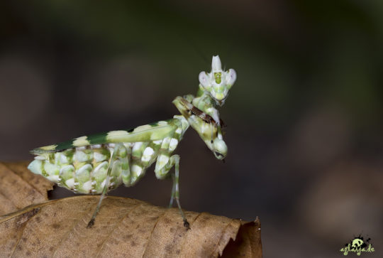 Praying mantis - Gottesanbeterin - 0.1 Callibia diana
