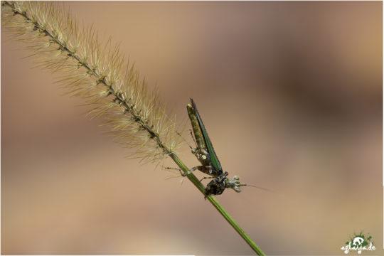 Praying mantis - Gottesanbeterin - 1.0 Callibia diana