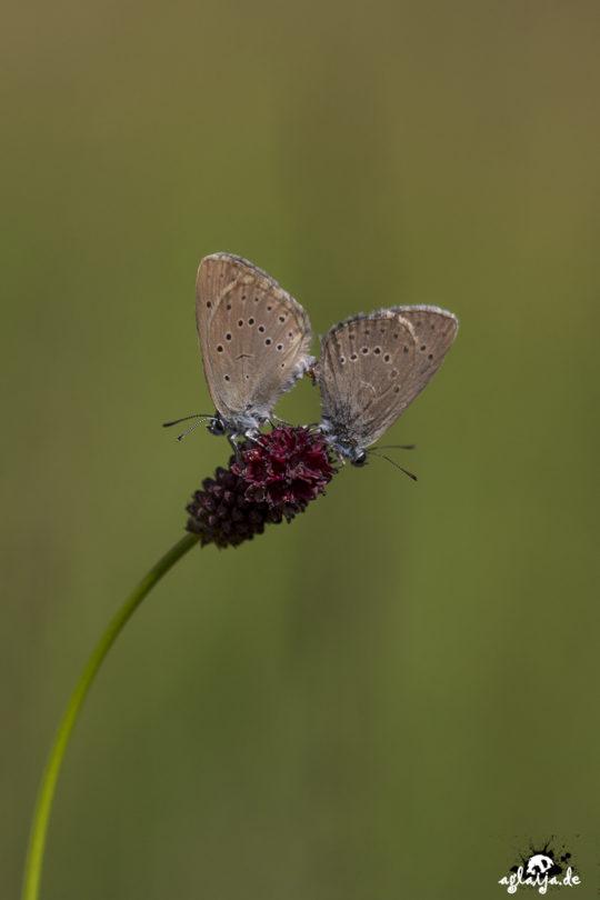 Butterfly - Schmetterling (Wiesenknopf-Ameisenbläuling)
