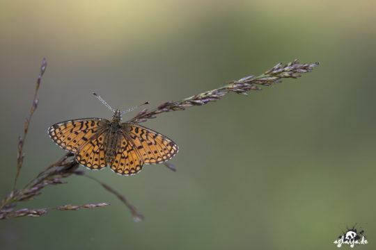 Butterfly - Schmetterling (Sumpfwiesenperlmuttfalter)