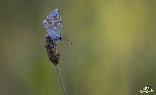Butterfly - Schmetterling (Bläuling)