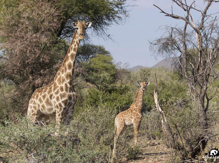 Namibia - giraffes